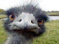 3633 emu