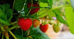 Bigger Better Berries