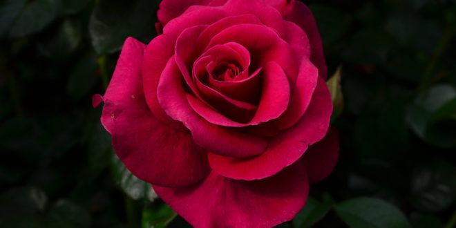 Grandmas Rose