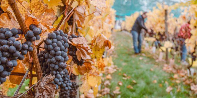 Grape Picking in Retirement