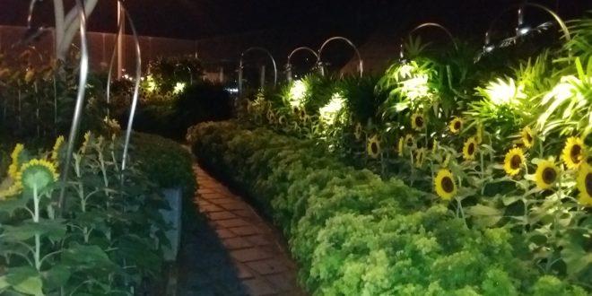 Sunflower garden at night